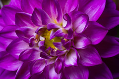 Flower (benevolentkira7) Tags: flower flowers purple macro close up texture beautiful pretty lovely nice awesome petal petals pollen flowering