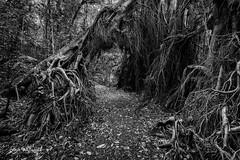 Bitter and twisted! (SteveWhitworthPhoto) Tags: lakeeacham rainforest craterlakes farnorthqueensland fnq bw blackwhite nikon nikond800e nikon1635mmf40