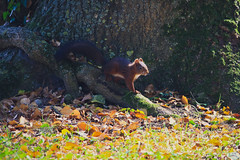 Ecureuil (N'Grid) Tags: cureuil squirrel roux animal nature automne fall