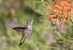 Anna's and the Grevillea (Hockey.Lover) Tags: annashummigbird birds backyard mybackyard backyardbirds grevillea