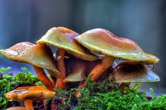 Pilze im Wald - HDR (HNO3) Tags: spyder spinne forest nass glanz wald mushrooms pilze macro makro