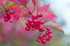 Berries in Fall (~DGH~) Tags: 2016 alberta edmonton pentaxk50 september autumn berries fall leaves macro red smcpentaxdfamacro100mmf28 ~dgh~