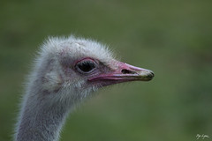 Estru - Struthio camelus (Pep Lopez) Tags: naturaleza nature au natura ostrich ave avestruz pajaro estru ocell sigean struthio camelus