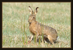 Brown Hare (Full Moon Images) Tags: brown nature animal project mammal hare wildlife great reserve national trust fen fens cambridgeshire fenland woodwalton