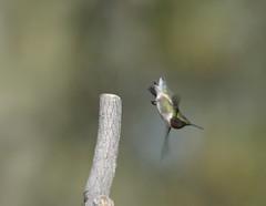 zoom ... zoom ... twirl (DaveLadore) Tags: ontario canada birds nikon hummingbird shrewsbury chathamkent sigma150500 nikond7000
