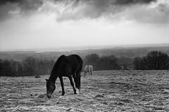 R0013283.tif (Sigfrid Lundberg) Tags: sky horses horse wet rain clouds landscape skne sweden himmel sverige regn landskap moln hst zm blt bltt veberd csonnart1550 zeiss50mmf15csonnarzm