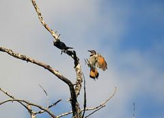 Northern Flicker (K Fletcher) Tags: canada calgary bird woodpecker alberta northern flicker inglewood