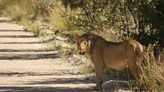 Namibia (tor-falke) Tags: africa wild game animal landscape wildlife safari afrika landschaft namibia torfalke flickrtorfalke