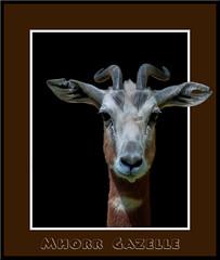 Mhorr Gazelle (David Wirtz) Tags: david zoo kentucky wirtz louisville 2012 zoosofnorthamerica davidwirtz
