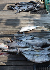 IMG_8140 (TimVidraEats) Tags: fishing florida tuna destin crabisland amberjack kingmackerel emeraldgrand chompnchill