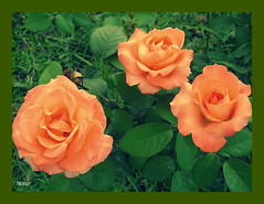 Roses in the Garden (Nasir Iftikhar) Tags: ngc soe autofocus otw thegalaxy beautifulshot abigfave platinumheartawards astoundingimage flickrestrellas awesomeblossoms realgem ringofexcellence allnaturesparadise dblringofexcellence flickrstruereflection1 flickrstruereflection2 soulocreativity3