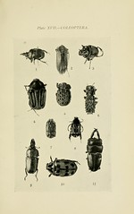 n236_w1150 (BioDivLibrary) Tags: australia insects coleoptera lucanidae scarabaeidae
