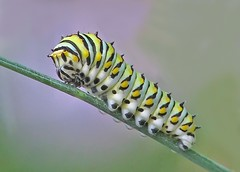Black Swallowtail caterpillar (Vicki's Nature) Tags: wild black green yellow yard canon butterfly georgia ngc caterpillar spots npc return fennel swallowtail s5 creepycrawly blackswallowtail twothumbsup bigmomma supershot 3092 thumbwrestler specanimal vickisnature thumbsupwinner 100commentgroup twothumbsupwinner thumbwrestlingwinner readygame storybookwinner mothergrandmotherchallenge readygrandmother mothercreepycrawly wrestlingmatchwinner storybookanythinggoes thumbsupcreepycrawlies thumbsupupgradechallenge storybooknaturemacro besteverc thumbsupthumbwrestling