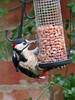 Great Spotted Woodpecker (dendrocopus major) (celerycelery) Tags: bird nature birds animal critter wildlife birding critters ornithology othercritters