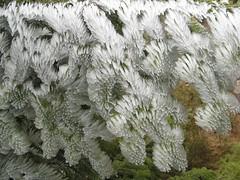 IMG_6613.JPG (m.prinke) Tags: macro ice frost fir eis fichte