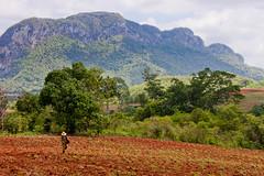 Cuba, Vinales, Farmer (Nicolas Lbts) Tags: life canon countryside cuba champs worker farmer rough 1855 vinales vie dur mogotes 500d fermier travailleur lesbats