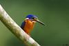 Blue Eared Kingfisher #12 (Ken Goh thanks for 2 Million views) Tags: lighting blue cute male green pose ngc clean npc kingfisher ear perch creamy kf eared mygearandme mygearandmepremium mygearandmebronze mygearandmesilver