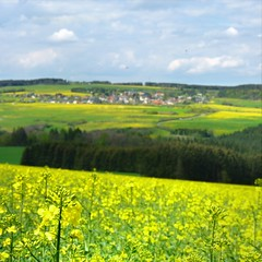 The rolling canola rape fields in bloom (Bn) Tags: flowers holiday flower field yellow germany walking landscape geotagged spring paradise hiking hill may meadow rape eifel seeds oil bloom mustard motor volcanoes blooms region volcanic geel rolling fuel biodiesel canola koblenz duitsland brassica rapeseed brassicaceae napus oilseed bloei koolzaad mayen powering goudgeel brassicanapusl vulkanpark koolzaadvelden vulkanland geo:lon=6864481 geo:lat=50104396 koolzaadteelt