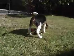 Beagle Puppy. (¡arturii!) Tags: house playing home beagle garden puppy casa video funny europe young running catalonia cachorro tricolor learning firstdays jardi cadell bigui
