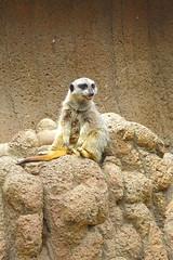 Meerkat (Brian Aslak) Tags: park usa cute animal zoo meerkat furry kentucky northamerica louisville suricate suricatasuricatta louisvillezoo