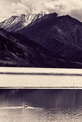 Peace. (Prabhu B Doss) Tags: travel portrait india lake snow bird swim swan nikon leh himalayas ladakh pangong changla d80 prabhub prabhubdoss zerommphotography 0mmphotography