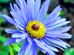 Ladybug On Blue Daisy (Explore June 20, 2012) (careth@2012) Tags: national daisy ladybug geographic finegold thegalaxy itsallaboutflowers thegalaxyhalloffame finediamond