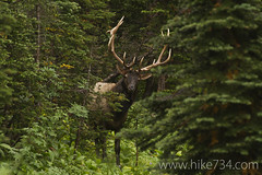 "Bull Elk • <a style=""font-size:0.8em;"" href=""http://www.flickr.com/photos/63501323@N07/7411895246/"" target=""_blank"">View on Flickr</a>"