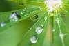 Moment after rain (Aspiriini) Tags: reflection droplet lupine lupiini pisarat pisara lupinuspolyphyllus