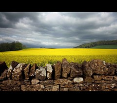 Sunlit Rapeseed (Martyn.Smith. Back from Euro tour :)) Tags: yellow stone wall wales clouds canon landscape eos golden scenery flickr cymru harvest sigma wideangle fields boundary drystonewalls canola rapeseed 450d bestcapturesaoi mygearandme mygearandmepremium mygearandmebronze mygearandmesilver mygearandmegold mygearandmeplatinum mygearandmediamond seedoilrape
