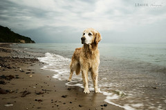 26/52 that baltic boy (Ciscolo) Tags: blue summer dog beach goldenretriever grey balticsea hund cisco ostsee 2652 52weeksfordogs