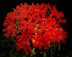 Brennende Liebe (fleckchen) Tags: park flowers rot sommer natur pflanzen parks blumen blooms blume garten blüten brennendeliebe roteblütenred