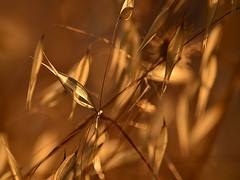 humble grass (pete ware) Tags: grass closeup greece pete organic olivegrove zakynthos ware hbw bokehwednesdays nikond7000 peteware