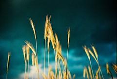 The Golden Light (Kelly Marciano) Tags: light summer film analog 35mm canon xpro crossprocessed fuji dusk grain velvia fujichrome 50iso velvia50 stormyskies canonftb westernmass