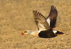 King Eider (Eleanor Briccetti) Tags: usa bird alaska northamerica kingeider longtailedduck clangulahyemalis somateriaspectabilis prudoebay eleanorbriccetti
