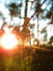 Forest Sunset (enthropist) Tags: sunset macro forest web lensflare olympusxz1