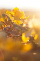 Sunburst (daniellih) Tags: life seattle light sunset summer sun sunlight plant blur flower uw nature sunshine june yellow golden evening bay washington blurry warm university afternoon dof bright bokeh outdoor dusk large petal hour stamen huge sunburst hypericum 2012 montlake portagebay hypericumfrondosum frondosum daniellih