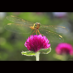 funny dragonfly (-clicking-) Tags: lighting light flower macro floral beautiful backlight garden wings flora dof blossom dragonfly bokeh details ngc insects npc bloom lovely blooming chunchun colorphotoaward coth5 vietnameseflowers