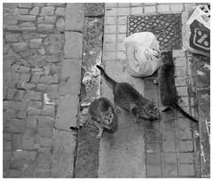 25/92: hora de la cena (Frankness2008) Tags: españa blanco fauna canon eos noche calle huesca y negro gato aragon felino mascota jaca proyecto aragón