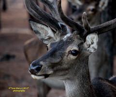 Ciervo retrato (Pepe (ADM)) Tags: retrato ciervo venado elpardo mygearandme ringexcellence flickrstruereflection1