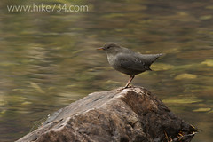 "American Dipper • <a style=""font-size:0.8em;"" href=""http://www.flickr.com/photos/63501323@N07/7605500802/"" target=""_blank"">View on Flickr</a>"