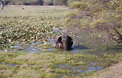A Wild Sight (The Spirit of the World) Tags: elephant nature nationalpark asia wildlife safari srilanka lilypond thegalaxy naturesgreenpeace allnaturesparadise