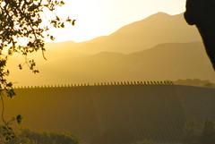 Vineyard at Sunset (JackNesbit) Tags: california sunset mountains art rural landscape golden design vineyard view wine country hillside winecountry ojaivalley provencial