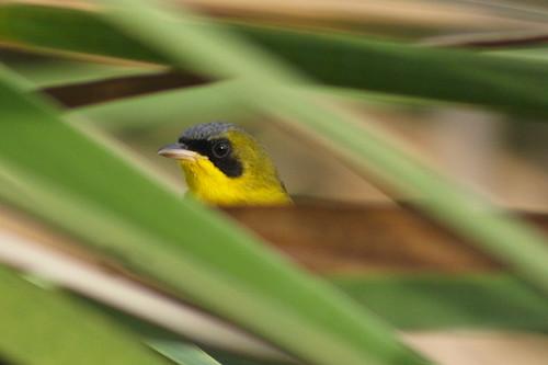 Reinita Equinoccial (Masked Yellowthroat / <i>Geothlypis aequinoctialis</i>)