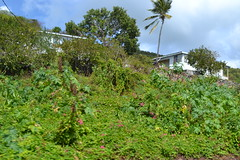 Dangerous Castor Bean plants growing on the island of Antigua (RYANISLAND) Tags: nature beauty island islands natural stjohns antigua caribbean naturalbeauty caribbeansea barbuda westindies antiguabarbuda antiguaandbarbuda leewardislands wadadli