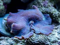 Blue Mushroom Coral by la.kien, on Flickr