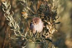 American Bushtit (Psaltriparus minimus) (emiliechenphotography) Tags: bird spring 2016 psaltriparusminimus americanbushtit uppernewportbackbay