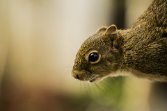 The Curious Squirrel (leocsaad) Tags: squirrel curious reflex reflexo animal tree looking eye esquilo alvin olhando curioso deepth field monte verde minas gerais so paulo camanducaia larry