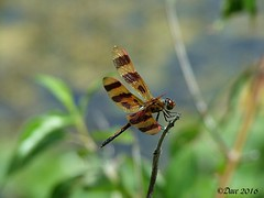 Halloween Pennant (Picsnapper1212) Tags: ohio nature animal insect dragonfly aquatic warrencounty halloweenpennant springvalleywildlifearea