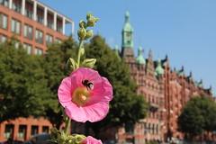 St. Annenplatz (Elbmaedchen) Tags: stockrosen pflanze plant fleur speicherstadt hamburg hummel insekt stannenplatz