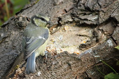 Juvenile bluetit (david.england18) Tags: bluetit smallbirds various tits blue great coal queensparkheywood canon7d canonef300mmf4lisusm birdsuk
